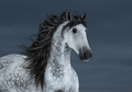 Gray long-maned Andalusian Horse - PhotoDune Item for Sale