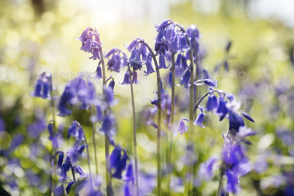 Bluebells in spring forest - Stock Photo - Images
