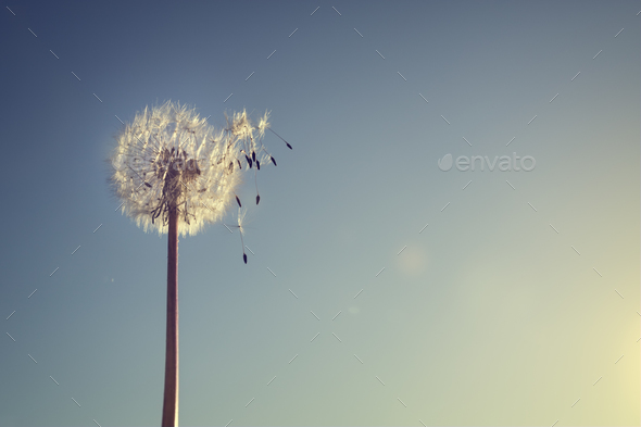 Dandelion silhouette against sunset - Stock Photo - Images