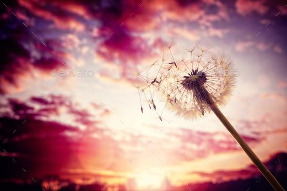 Dandelion silhouette against sunset - Stock Photo - Images