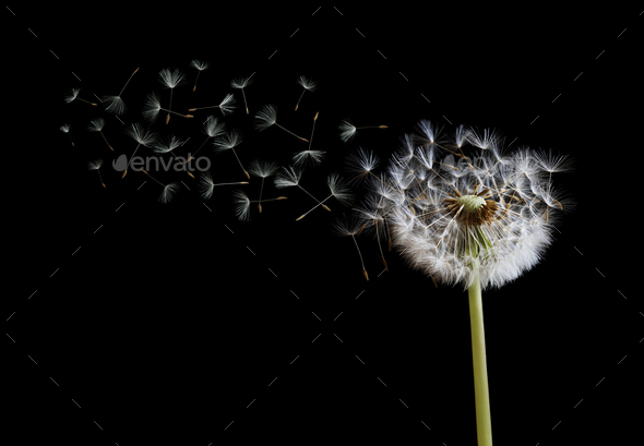 Dandelion seeds in the wind on black background - Stock Photo - Images