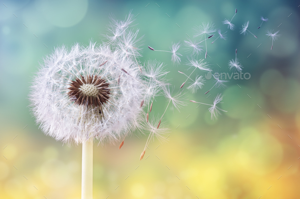 Dandelion clock in morning sun - Stock Photo - Images