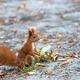 Red squirrel in the forest  - PhotoDune Item for Sale