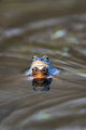 Moor frogs in the water  - PhotoDune Item for Sale