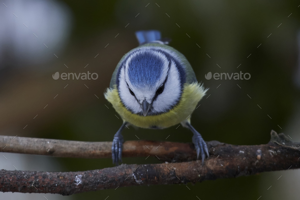 Eurasian blue tit (Cyanistes caeruleus) - Stock Photo - Images