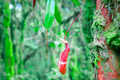 Nepenthes pitcher flower in wild jungles - PhotoDune Item for Sale