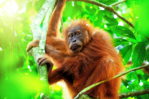 Orangutan cute baby in tropical rainforest. Sumatra, Indonesia - Stock Photo - Images
