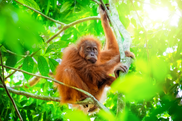 Orangutan cute baby in tropical rainforest. Sumatra, Indonesia - Stock Photo - Images