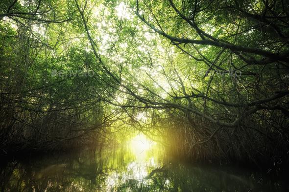 Mangrove rain forest lit by sun. Sri Lanka  - Stock Photo - Images