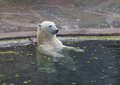 Beautiful Polar bear playing in water in autumn - PhotoDune Item for Sale
