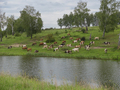 Landscape with a herd of cows in the on coast of the lake cinemagraph - PhotoDune Item for Sale