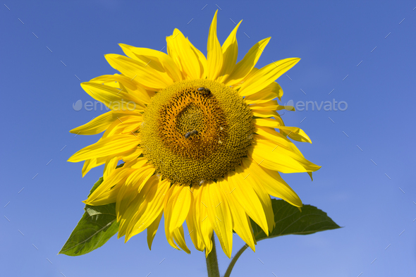 Field of flowering sunflowers with bees collecting honey - Stock Photo - Images