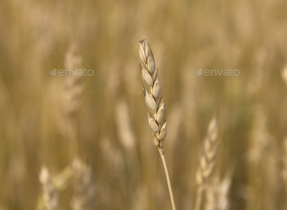 Yellow grain ready for harvest growing in a farm field - Stock Photo - Images