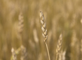Yellow grain ready for harvest growing in a farm field - PhotoDune Item for Sale