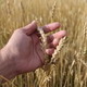 Farmer in field touching his wheat ears - PhotoDune Item for Sale