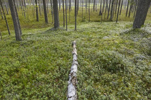 Finland pine wood forest at sunset. Backlit landscape. Travel background - Stock Photo - Images