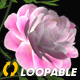 Peony Flowers - I - Pink White - Falling Loop - VideoHive Item for Sale