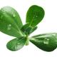 Purslane Portulaca oleracea, paths - PhotoDune Item for Sale
