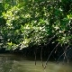 The Rays of the Sun Illuminate the Mangrove Forest on the River - VideoHive Item for Sale
