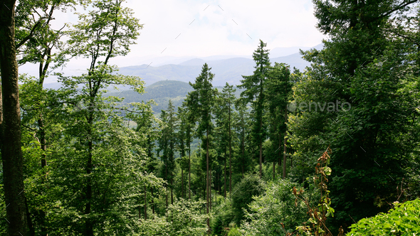 green woodland in Vosges Mountains in Alsace - Stock Photo - Images