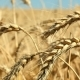 Ripe Wheat Is Ready for Harvesting - VideoHive Item for Sale