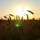 Wheat in a Field on a Sunset Background - VideoHive Item for Sale