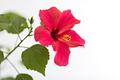 Red hibiscus - PhotoDune Item for Sale