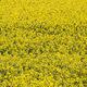 rapeseed background - PhotoDune Item for Sale