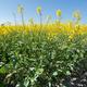 rapeseed crop - PhotoDune Item for Sale