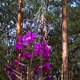 Pink Flowers Near the Pine Forest - VideoHive Item for Sale