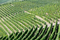 Green vineyards on hill background in a sunny day - PhotoDune Item for Sale