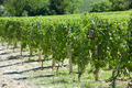 Green vineyards with small wooden bird nest in a sunny day - PhotoDune Item for Sale