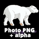 White Polar Bear Walks - VideoHive Item for Sale