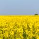 rapeseed flower in spring field - PhotoDune Item for Sale
