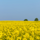 spring fields of flowering rapeseed - PhotoDune Item for Sale