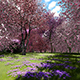 Flowering Cherry Trees - VideoHive Item for Sale