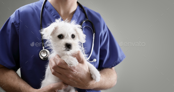 Veterinarian doctor examining a Maltese puppy - Stock Photo - Images