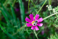 bee on a cosmos flower - PhotoDune Item for Sale
