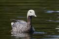 Emperor goose (Chen canagica) - PhotoDune Item for Sale