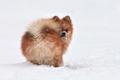 Pomeranian spitz in winter day - PhotoDune Item for Sale