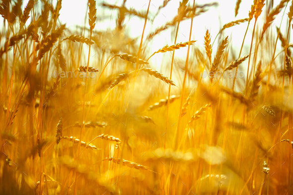 Wheat field. Ears of golden wheat close up - Stock Photo - Images