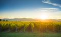Bolgheri and Castagneto vineyards sunrise backlight. Maremma Tus - PhotoDune Item for Sale