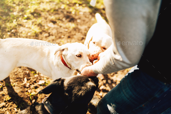 Male cynologist with cop dogs, training outside - Stock Photo - Images