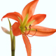 Amaryllis Flower in Blossom on White Background - VideoHive Item for Sale