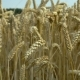 Wheat Gently Moving - VideoHive Item for Sale