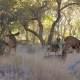 Herd of Deer with Fawns Graze and Rest in Shade of Trees Grove in Zion Park - VideoHive Item for Sale