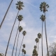 Tall Palm Trees in California - VideoHive Item for Sale