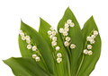 Lily of the valley - PhotoDune Item for Sale