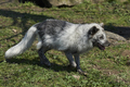 Arctic Fox (Alopex Lagopus) - PhotoDune Item for Sale