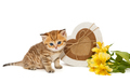 British kitten and gifts - PhotoDune Item for Sale